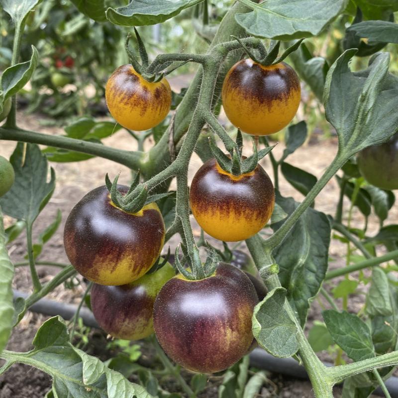 Blau/Gelbe Tomatenrarität