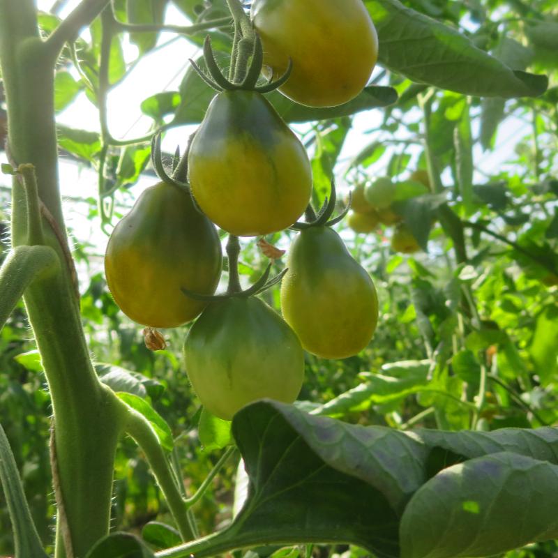 Tomatensaatgut Cherokee Green Pear