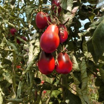 Roter Liebesapfel in Birnenform