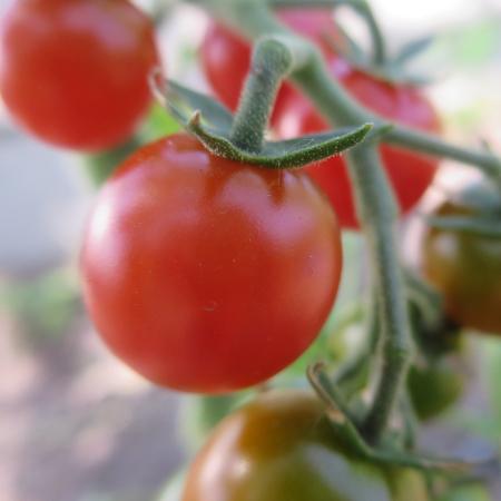 Rote Cherry Tomatensorte mit schönem Geschmack