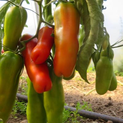 Tomatensaatgut Auria, grosse Früchte
