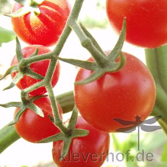 Tomatensaatgut Tonadose de Conores, kleine Früchte