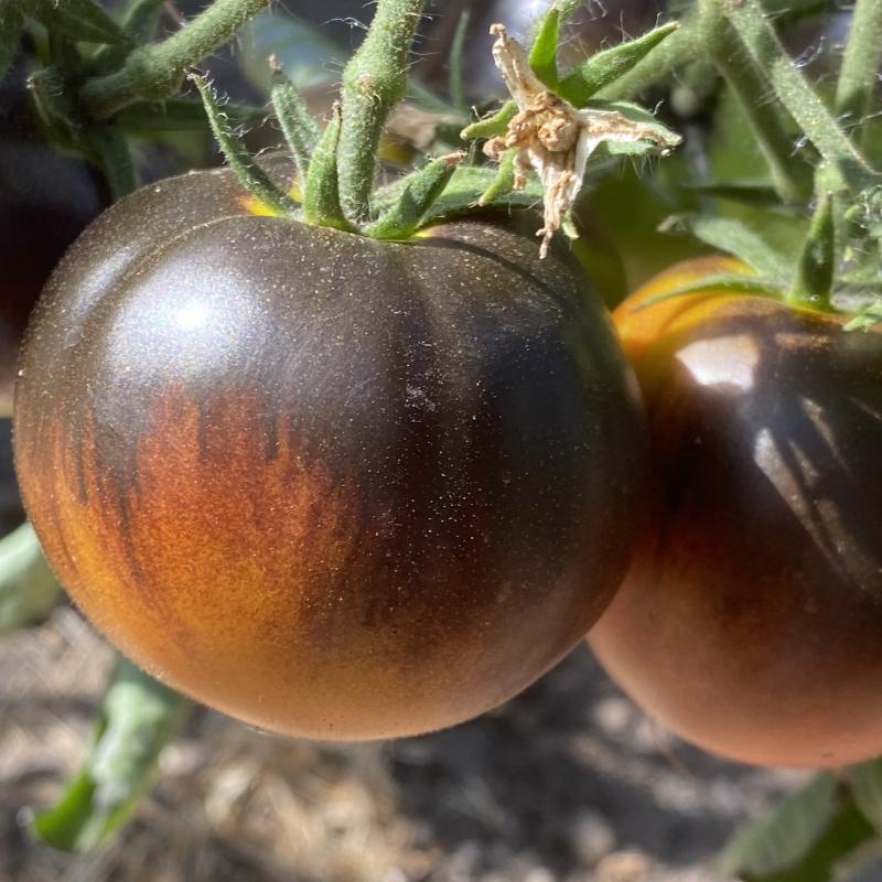Orange Tomatenrarität mit blauem Kopf
