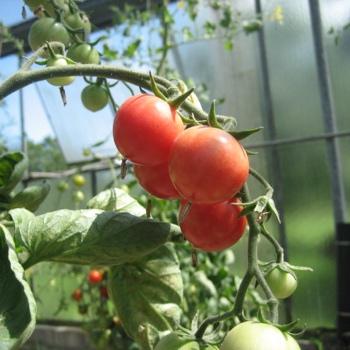 Brandywine Cherry, klein bis mittelgrosse Früchte