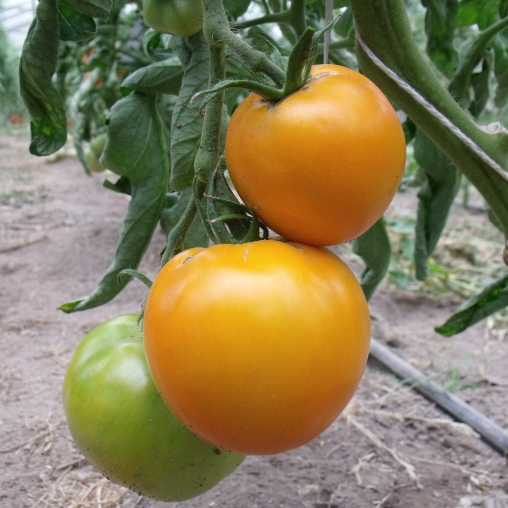 Tomatensaatgut Orange Bulgarische