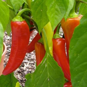 Süsse Paprika rot
