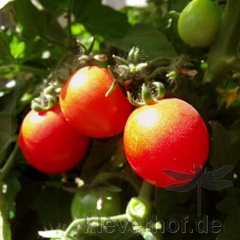 Sweet & Neat Scarlet, kleinwüchsige Pflanzen