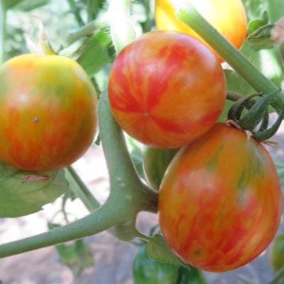 Rot und Orange gestreifte Tomatenfrucht