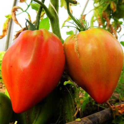 Tomatensaatgut Bobbie