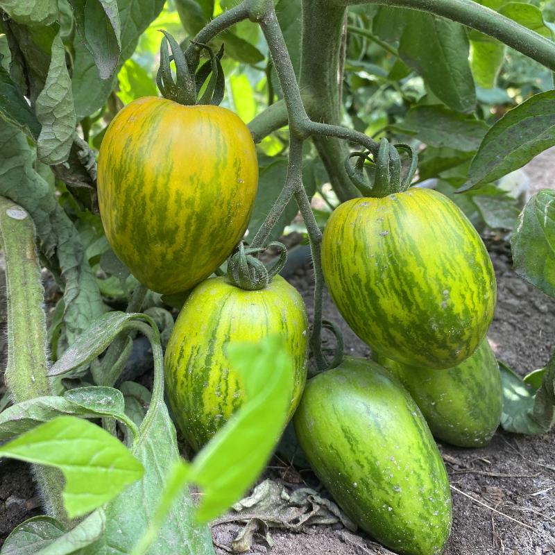 Wunderschöne Grün gestreifte Bio Tomatenvielfalt