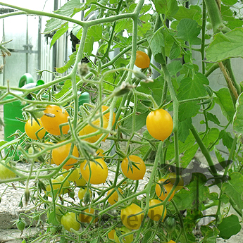 Tomatensaatgut Argentinische Wildtomate