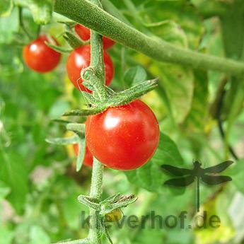 Kleiner Roter Cherry Tomatenstrauch