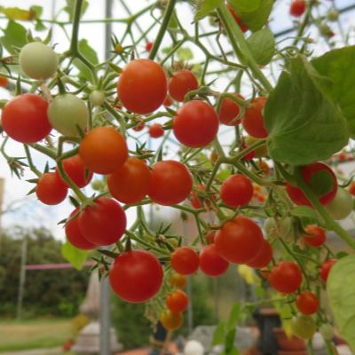 Rote Cherry Tomatenvielfalt mit gutem Geschmack