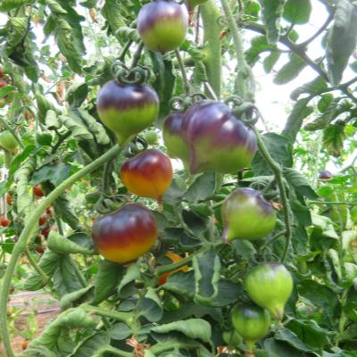 Orange/Blaue Bio Tomatenrarität
