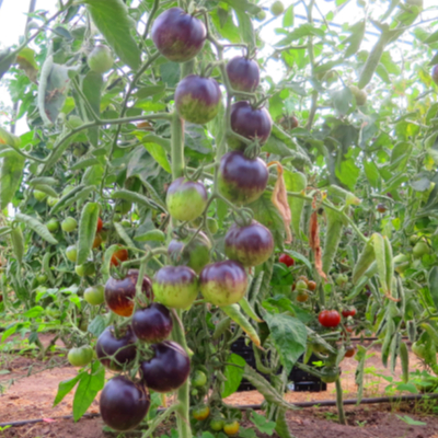 Tomatensaatgut Stripes of Yore