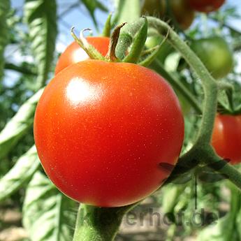 Tomatensaatgut Extra Early
