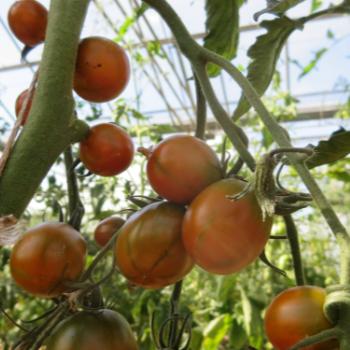 Braune Tomatenvielfalt
