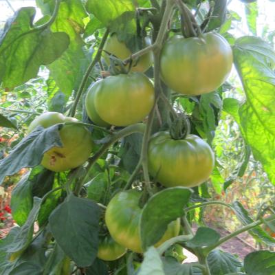 Tomatensaatgut Keiner Stiehlt Sie, mittelgrosse Früchte