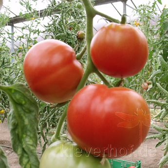 Piroka, grosse Früchte