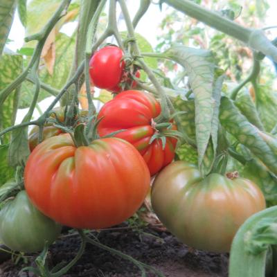 Große Rote Tomatenvielfalt mit Geschmack
