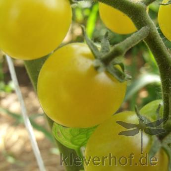 Reinhard's Goldkirsche, kleine Früchte