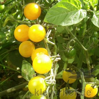 Gelbe Cherry Tomatenfrüchte mit Geschmack