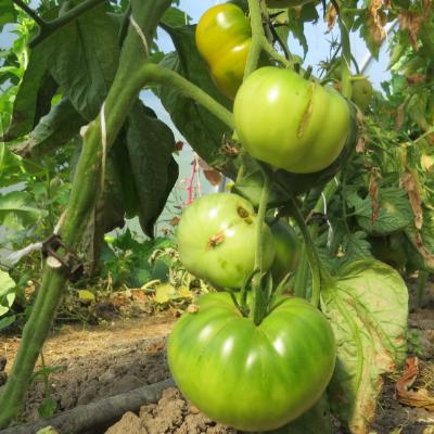 Tomatensaatgut Green Giant, grosse Früchte