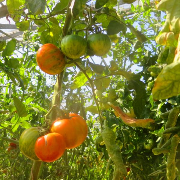 Tomatensaatgut Lava Flow, grosse Früchte