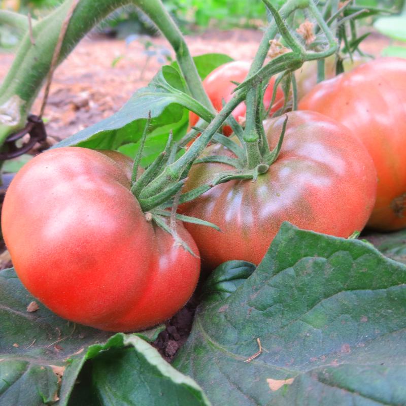 Rot und Pinke Tomatenfrucht