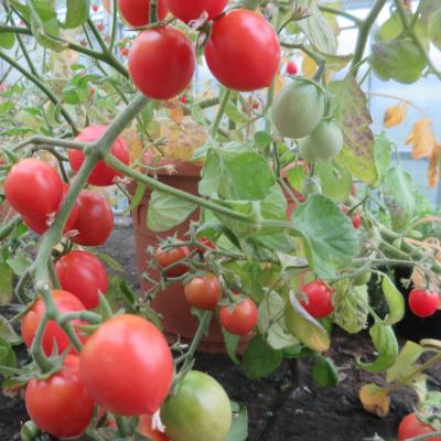 Tomatensaatgut Anmore Treasures, kleine Früchte