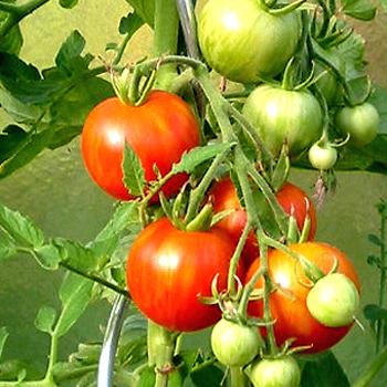 Tigerella, mehrfarbig-gestreifte Früchte
