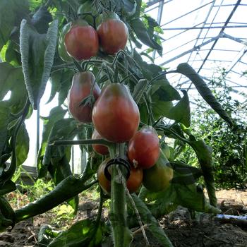 Braune Tomatensorte in Birnenform