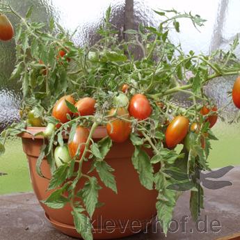 Tomatensaatgut Tumbling Tiger