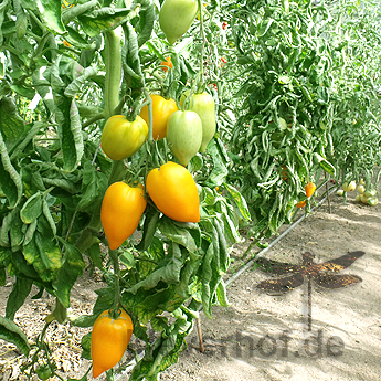 Gelbe Paprikatomate, grosse Früchte