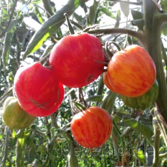 Georgia Streak, mehrfarbig-gestreifte Früchte