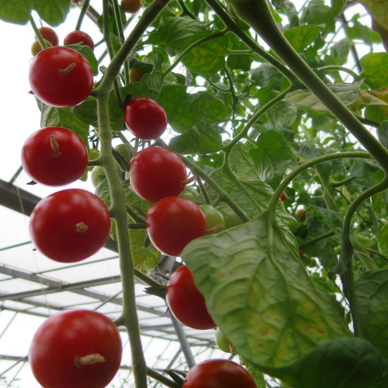 Tomatensaatgut Lady Aireen Sweetie Pie, kleine Früchte