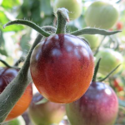Orange/Blaue Tomatenrarität