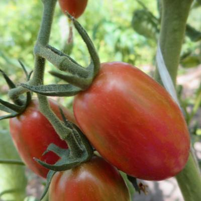 Tomatensaatgut Candy Sweet Icicle, kleine Früchte
