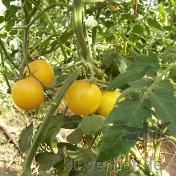 Wapsipinicon Peach, mittelgrosse Früchte