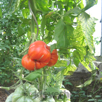 Orange Reise Tomatenfrucht