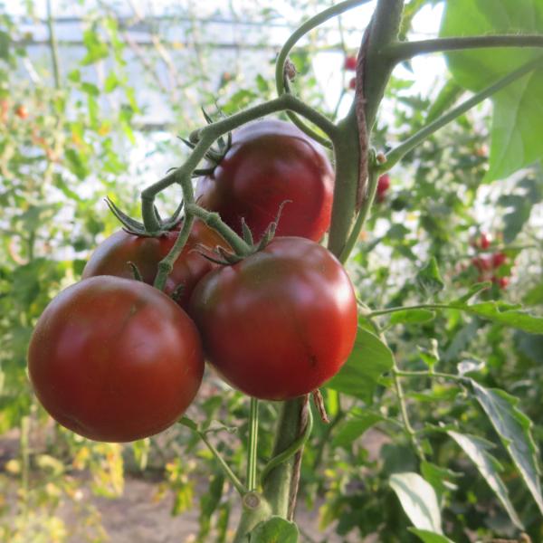 Rote Tomatenfrucht mit gutem Geschmack