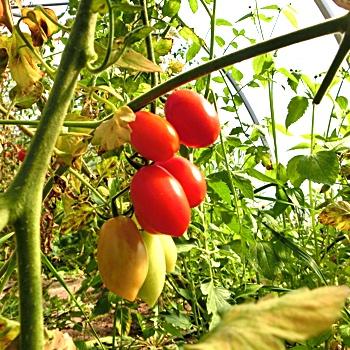 Tomatensaatgut Birne, kleine Früchte