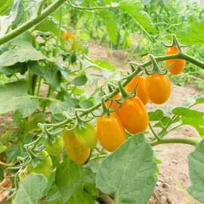 Tomatensaatgut Fredl, kleine Früchte