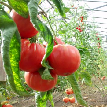 Rot und Pinke Bio Tomate