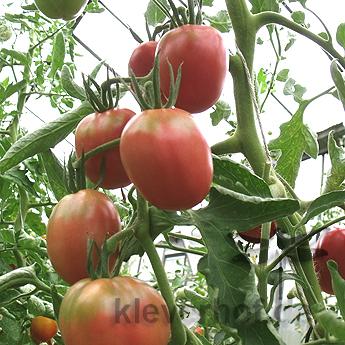 Rot und Pinke Tomatenpflanzen