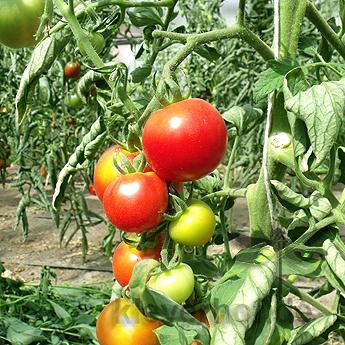 Tomatensaatgut Oldenrot, mittelgrosse Früchte