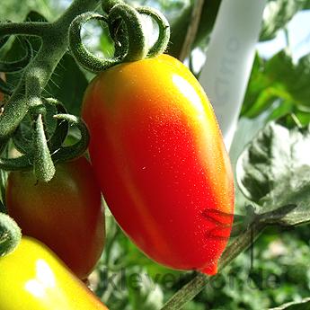 Tomatensaatgut Datterini Rot, kleine Früchte