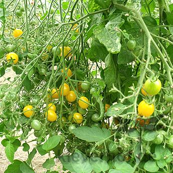 Clementine, klein bis mittelgrosse Früchte