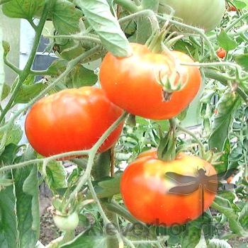 Marmande, grosse Früchte