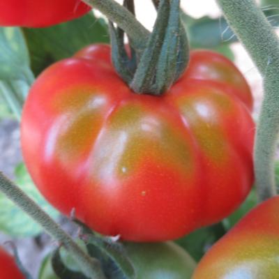 Tomatensaatgut Oaxacan Pink, grosse Früchte